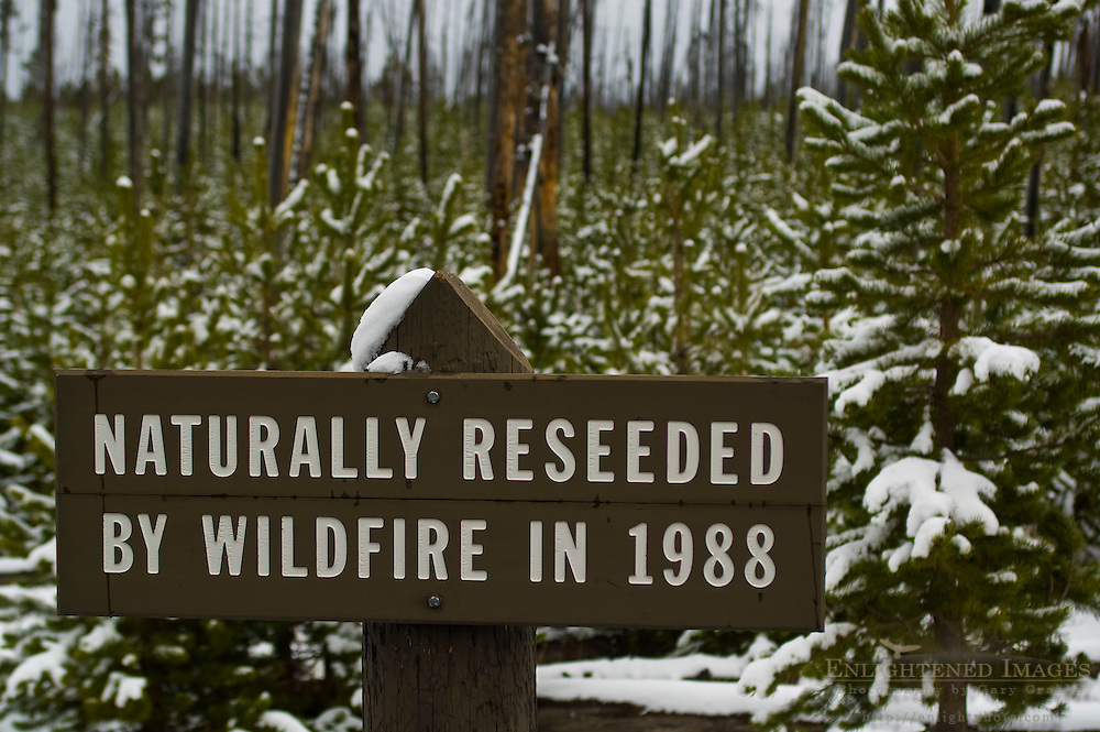 Sign about regrowth of trees in forest after wildfire, Yellowstone National Park, Wyoming