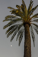 Palm tree and moon in evening, Golden Gate Park, San Francisco, California