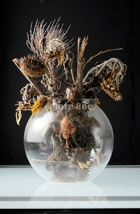 dried up dead sunflowers in a round vase with black background