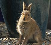The Irish Hare
