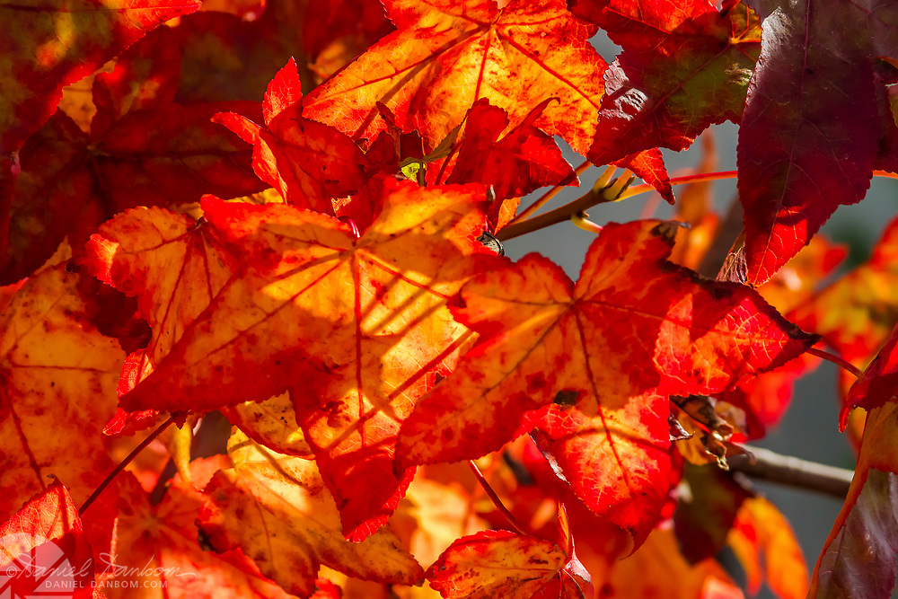 Red leaves backlit by the sun.