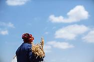 Najia Saidi harvests chickpeas near Mateur, Tunisia.