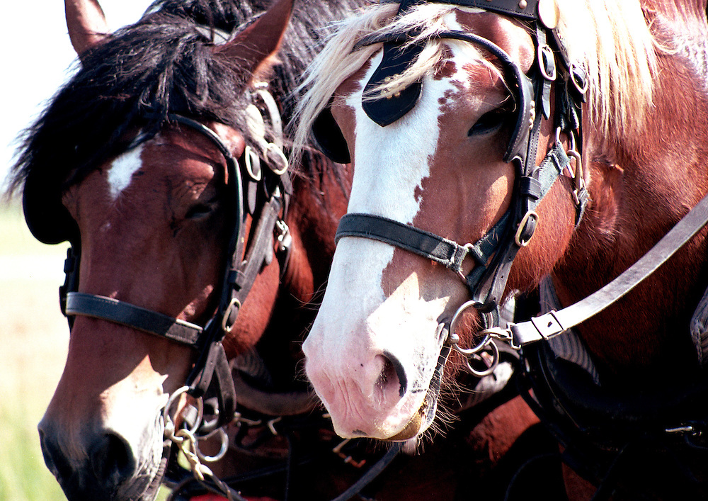 Team of draft horses, Motherwell Homestead National Historic Site, Saskatchewan