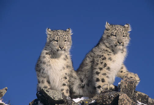 Snow Leopard (Panthera uncia). A pair of five month old cubs.  Captive Animal.