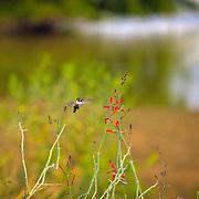 Hummingbird and flowers - AZ