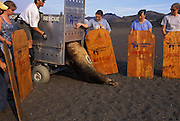 California Sea Lion Release<br /> Zalophus californianus<br /> TMMC staff and volunteers release a CA sea lion bull named &quot;Eisenhower&quot; who equipped with a satellite tag on his back. Crew members hold boards to help guide him in the right direction and to protect themselves.<br /> Rodeo Beach, Fort Cronkhite, CA