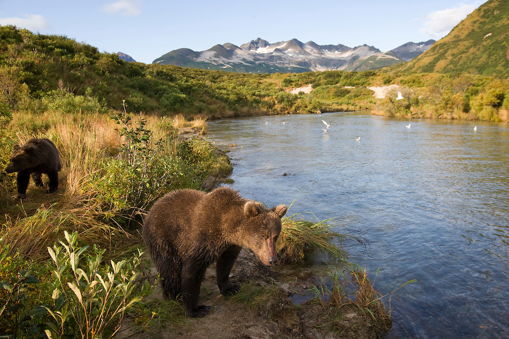 USA, Alaska, Katmai National Park, Kinak Bay, Brown Bear (Ursus arctos) second-year Cubs along river banks on autumn morning