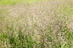 A field of wild grass, which has gone to seed, blows in the wind.