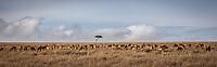 Impala on the wide open Masai Mara, Kenya.