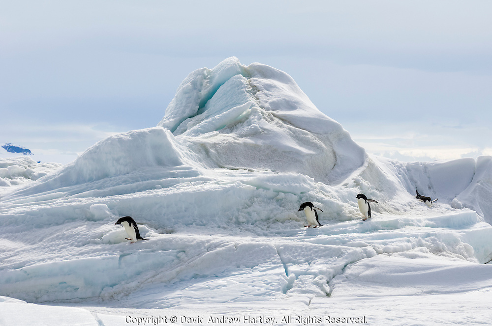 Four Adelie penguins (Pygoscelis adeliae) traverse ice and snow whilst returning back to their rookery, near Cockburn Island, Admiralty Sound, Antarctica
