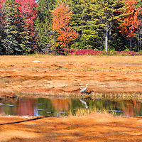 A great blue heron stalks lunch in this pond, reflecting the colors of fall foliage. Bar Harbor, Maine.