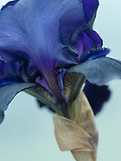 Iris 'Deep Black' - tall bearded flag iris