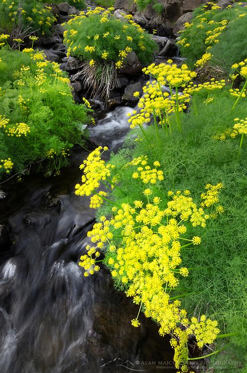 Smooth Desert Parsley  (Lomatium laevigatum) growing along creek