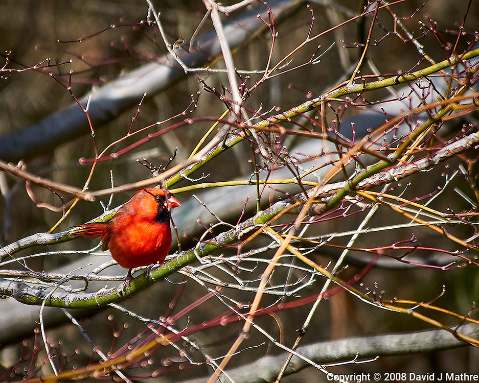 Male northern cardinal in the vines after a morning rain. Late winter backyard nature in New Jersey. Image taken with a Nikon D300 camera and 80-400 mm VR lens (ISO 200, 400 mm, f/5.6, 1/640 sec).