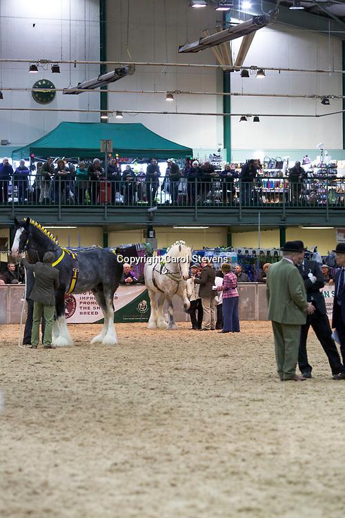 Shire Horse Society Spring Show 2017  Class 20 Senior Stallions