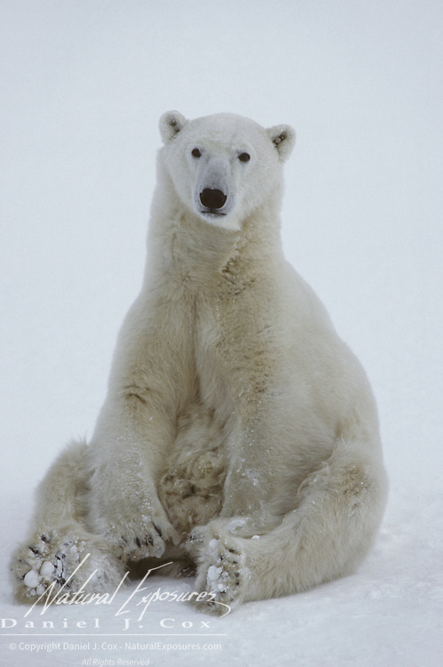 Polar Bear (Ursus maritimus) sitting up, waiting for the ice to freeze on Hudson Bay. Canada