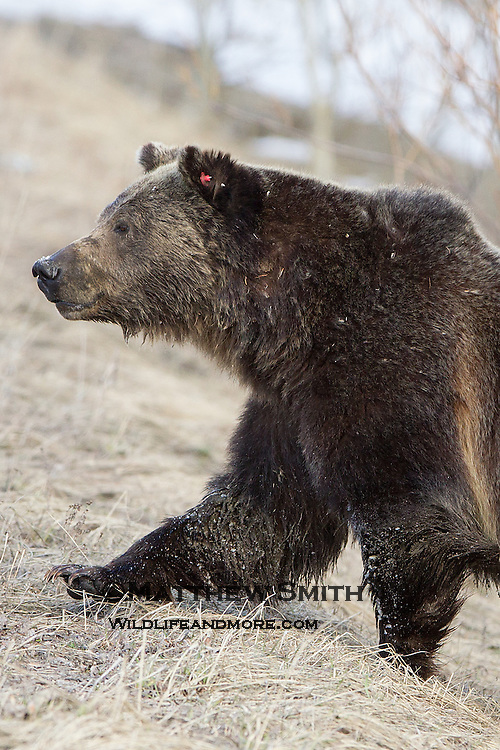 Grizzly Bear in Grand Teton National Park Wyoming