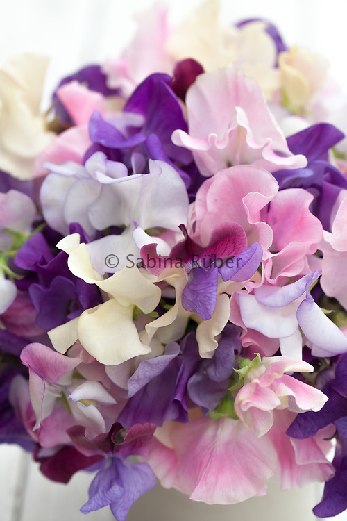 Lathyrus odoratus 'Summer Scent Mix' - sweet pea arrangement in small earthenware jar