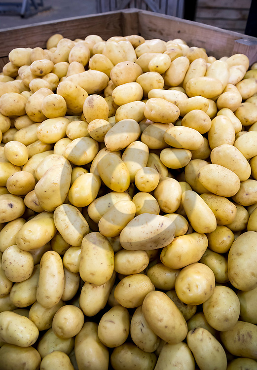 14/09/18 - MONTPENSIER - PUY DE DOME - FRANCE - Livraison de pomme de terre Mona Lisa au Jardin de Limagne - Photo Jerome CHABANNE