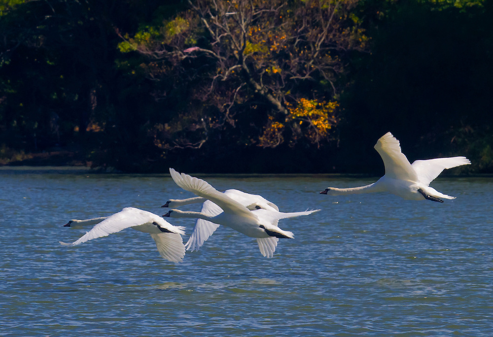 Four sibling swans after a running take off at Prospect Park lake on a warm October day. They are not great flyers.