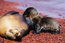 A Galapagos Sea lion pup suckling (Zalophus wollebaeki), Rabida Island, Galapagos Islands, Ecuador