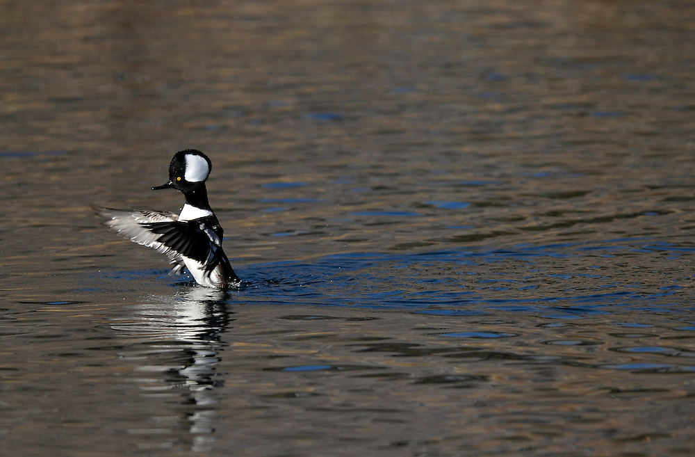 Hooded merganser on the Deschutes River in Bend Oregon.