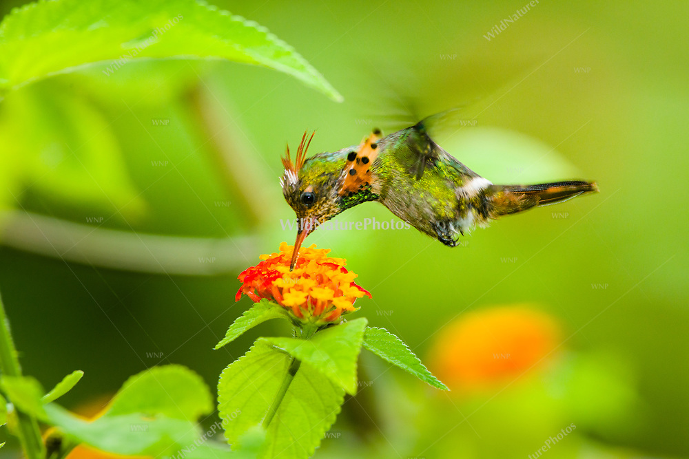 A molting male Tufted Coquette (Lophornis ornatus) in flight, feeding. Trinidad