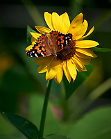Painted Lady Butterfly on a Sunflower. Image taken with a Nikon D810a camera and 70-300 mm VR lens