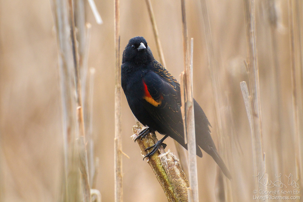 A red-winged blackbird (Agelaius phoeniceus) rests in the cattails in the Ridgefield National Wildlife Refuge in Washington state.