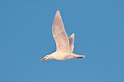 Glaucous Gull, Larus hyperboreus, Yukon Delta NWR, Alaska