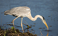 A cocoi heron, Ardea cocoi, feeding in shallow water in the Pantanal region of Brazil.
