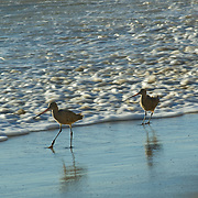 Sandpiper walking on the beach. Malibu,CA.USA.