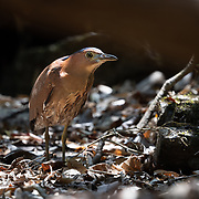 The Malayan night heron (Gorsachius melanolophus), also known as Malaysian night heron and tiger bittern, is a medium-sized heron. The Malayan night heron is usually solitary. It roosts in trees and feeds in open areas.