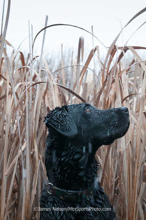 A black Labrador retriever watches as incoming ducks circle the decoys during a snowy waterfowl hunt in southeastern Idaho.