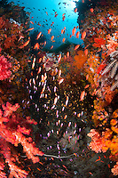 Colorful Reef Crevice with Hard and Soft Corals, Anthias....Shot in Indonesia