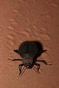 darkling beetle (Prionotheca coronata) photographed in Israel Samar sand dune