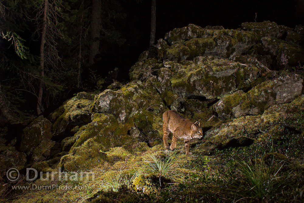 A wild  bobcat (Lynx rufus), photographed at night in the Wind River National Forest, Washingon, part of the Gifford Pinchot National Forest.