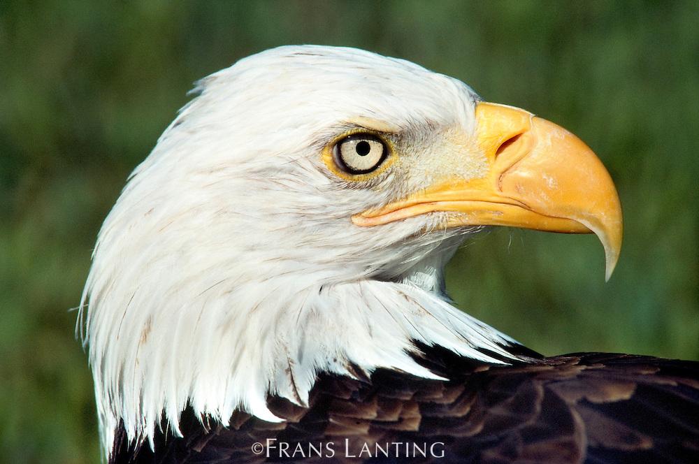 Bald eagle portrait, Haliaetus leaucocephalas