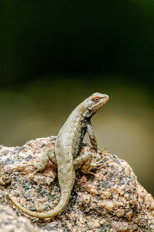 Orange-lipped Plateau Lizard [Sceloporus undulatus erythrocheilus], breeding season; Shelf Road, Fremont County, Colorado