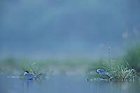Whiskered terns (Chlidonias hybridus) on lake Belau, Moldova