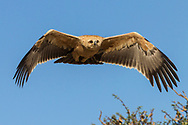 Tawny Eagle during his flight with a beautiful light  and real blu sky on background at Kgalagadi Trasfrontier Park South Africa.<br /> photo credit by:&copy;Claudio Zamagni