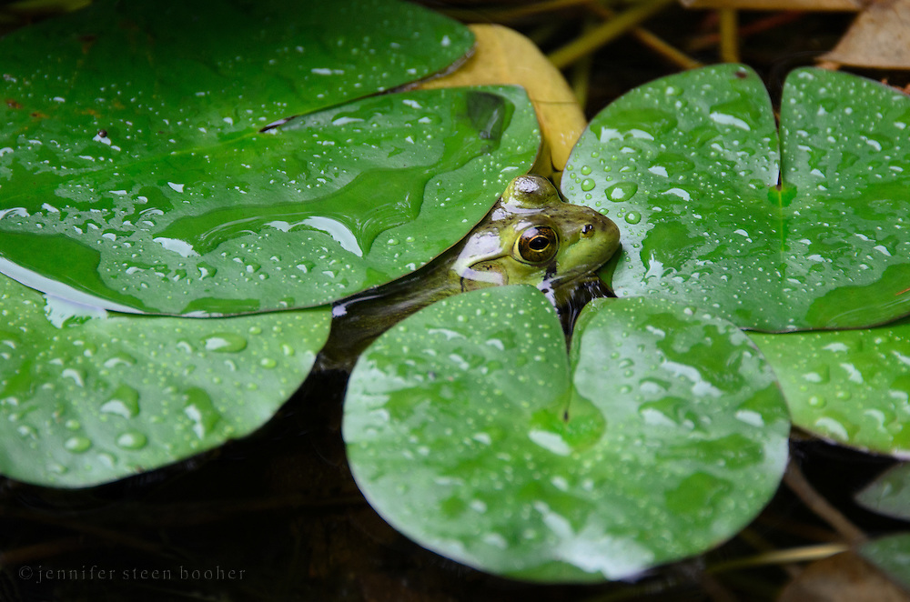 Northern Green Frog (Rana clamitans melanota) peeking out from under lily pads during a rain shower.