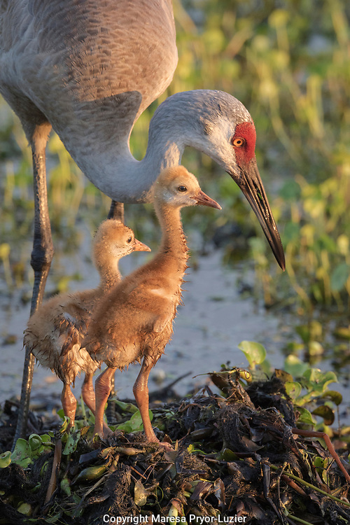 Sandhill crane with both colts on nest, Grus canadensis, Florida, wild