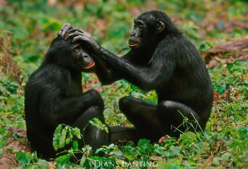 Bonobo female grooming adult son, Pan paniscus, D.R. Congo