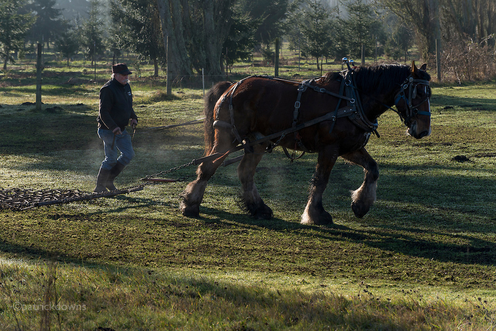 A young draft horse gets a workout on a January day, its body steaming in the cold air. He is pulling a steel aeration chain mat which weighs 500 pounds and effectively weighs 1000 with the drag.