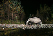 Badger (Meles meles) crossing log over burn, Glenfeshie, Scotland.