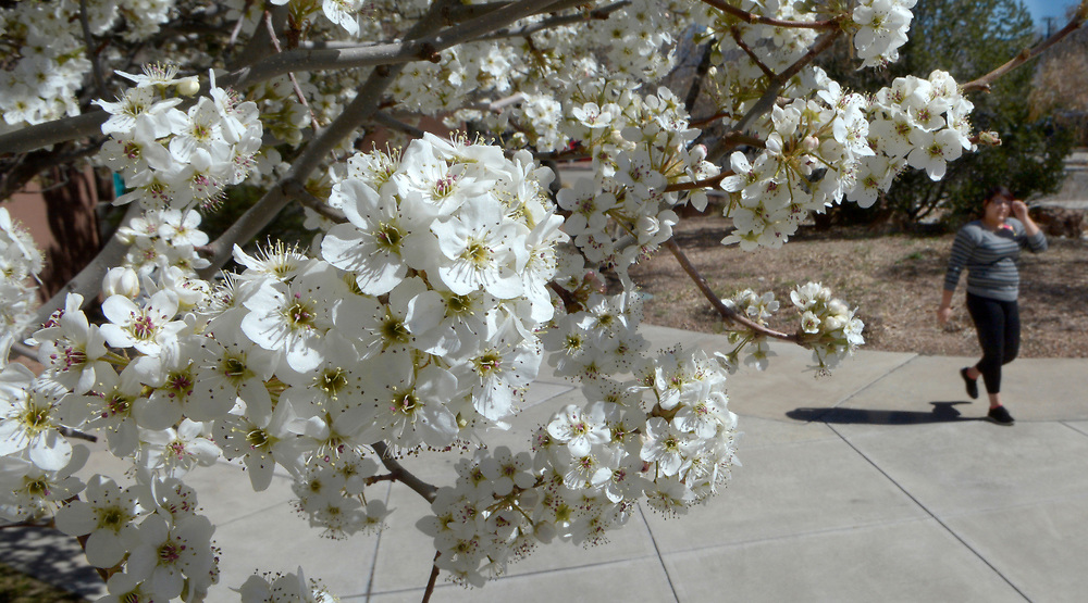 gbs030817a/ASEC -- Sierra Chavez, UNM Senior of Albuquerque, walks past blooming fruitless pear trees on Campus near the Law School on Wednesday, March 8, 2017. (Greg Sorber/Albuquerque Journal)