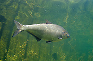 Gizzard Shad<br />
