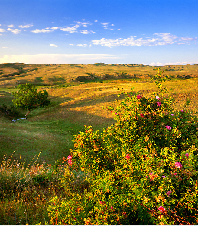 1100-1009 ~ Copyright: George H.H. Huey ~ Medicine Tail Coulee with wild rose.  Little Bighorn Battlefield National Monument, Montana.