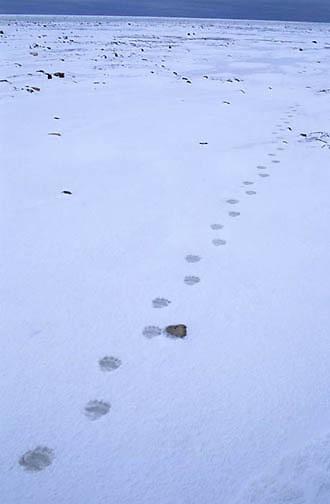Animal Tracks, Polar Bear tracks across ice. Churchill, Manitoba. Canada.